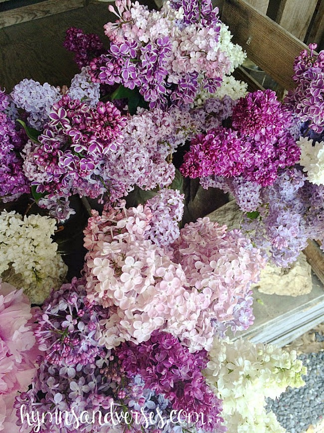 Varieties of Lilac Blooms