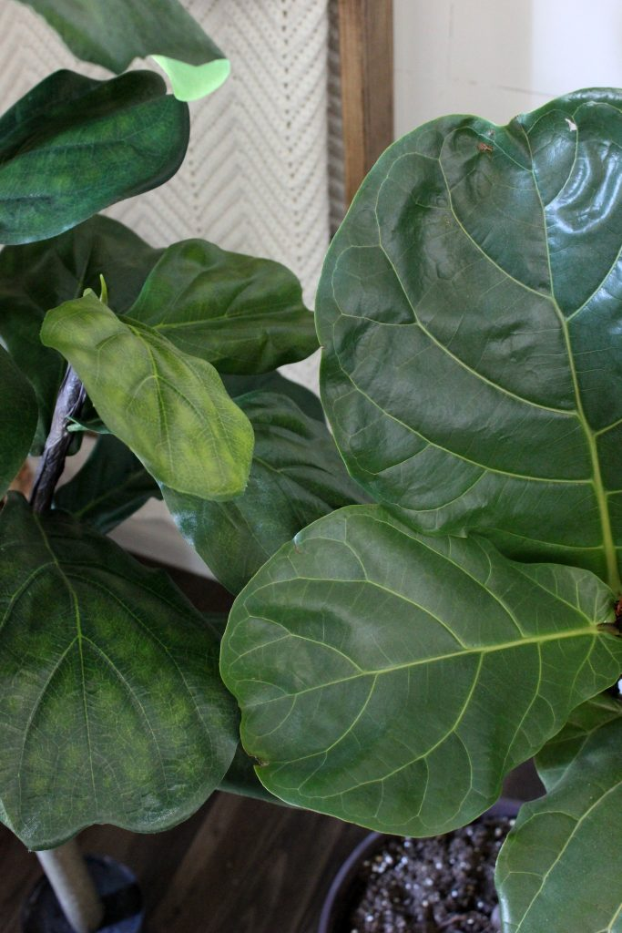 Faux Fiddle Leaf Fig Leaves