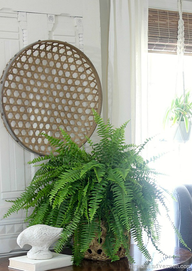 Boston Fern - Safe House Plant for Cats