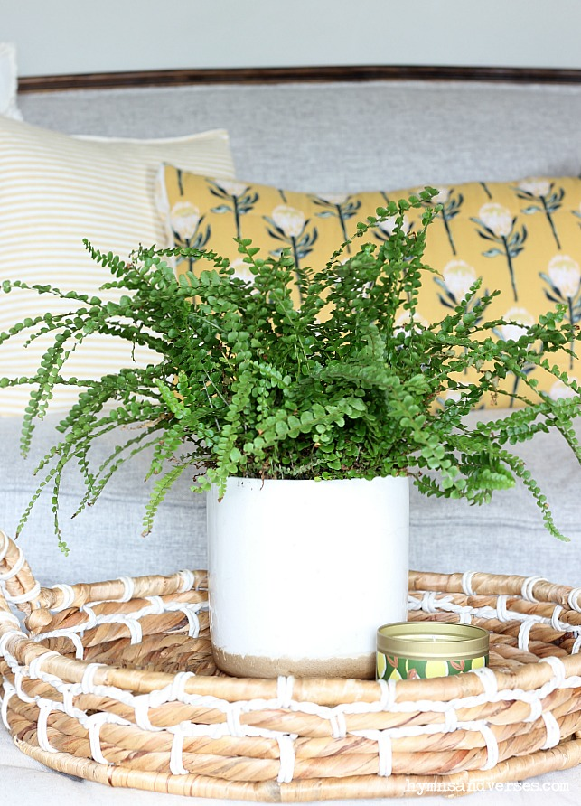 Lemon Button Fern in basket tray